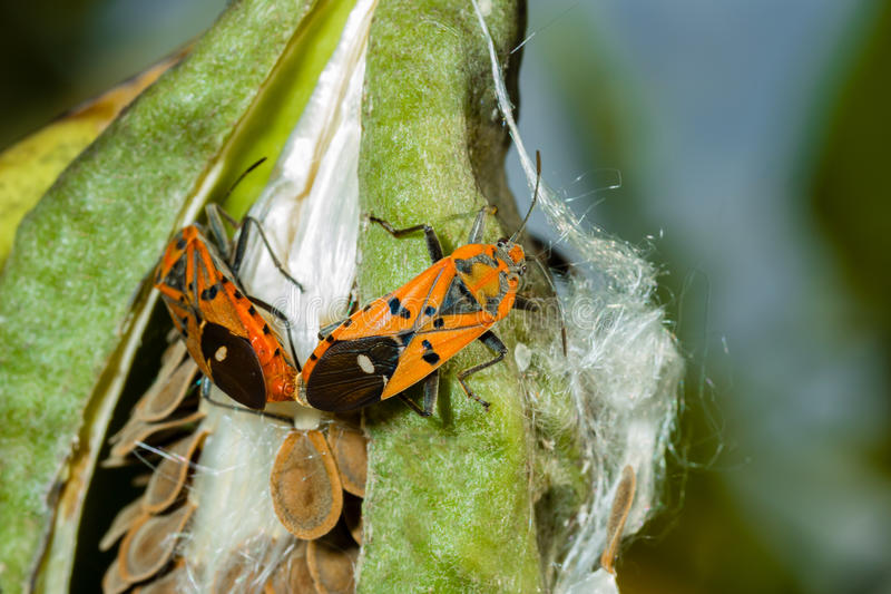 Het rode katoenen stainer insect koppelen royalty-vrije stock foto's