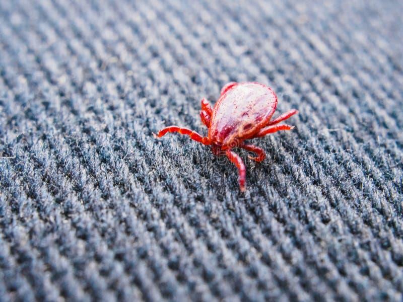 Het rode kruipen van de tiklente op denim Close-up van een parasiet stock foto's