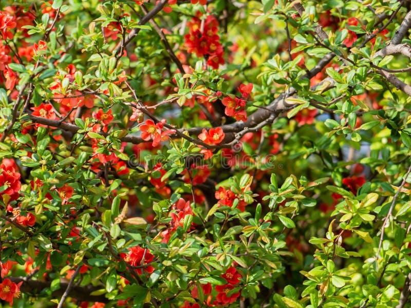 Het rode Malus-hoogtepunt van de boomluifel van bloemen stock fotografie
