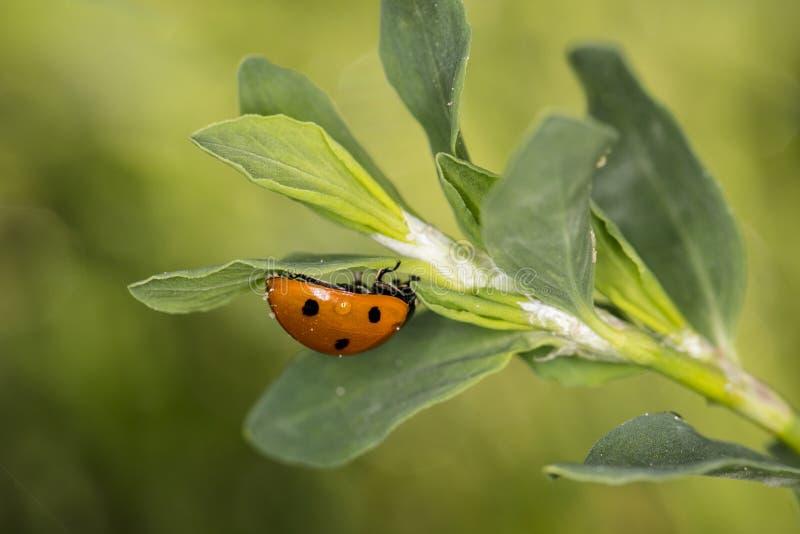 Het rode onzelieveheersbeestje gaat bovenkant - neer op de bladeren stock afbeelding