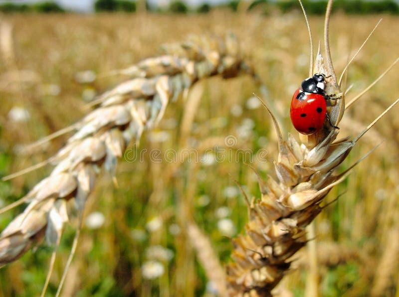 Het rode onzelieveheersbeestje van het insect. stock afbeelding