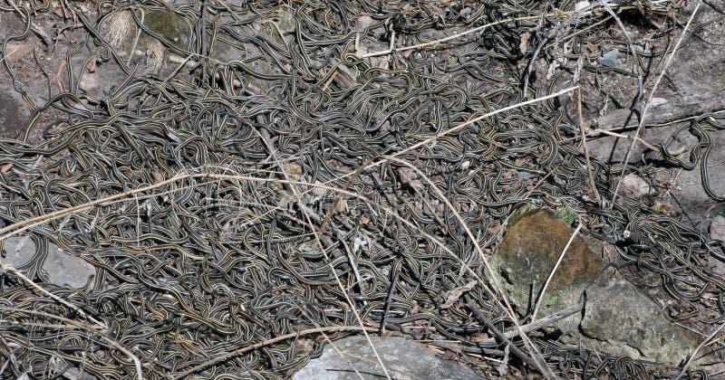 Het rode Opgeruimde Hol van de Slang van de Kouseband in Narcisse, Manitoba royalty-vrije stock fotografie
