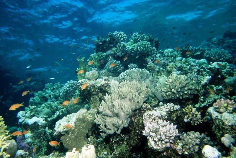 Het Rode Overzees van Anthiasvissen stock foto