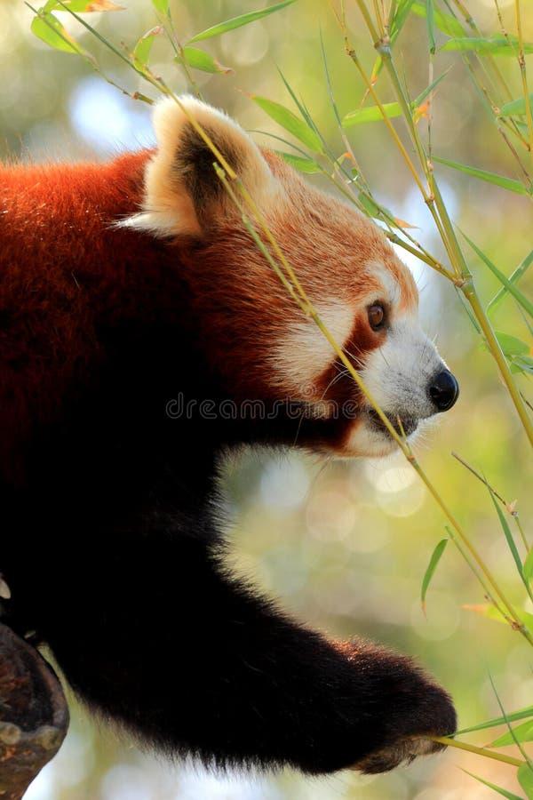 Het rode panda eten royalty-vrije stock fotografie