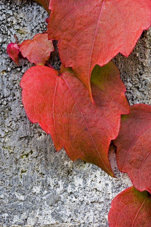Download Het Rode Patroon Van De Klimop Stock Afbeelding - Afbeelding bestaande uit tuinbouw, attached: 294837