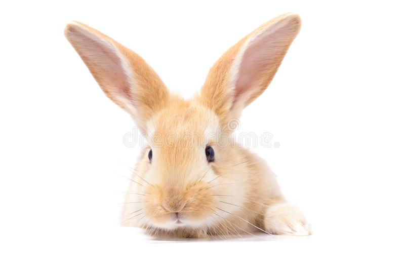 Het rode pluizige konijn bekijkt het teken Ge?soleerdj op witte achtergrond Oostelijk Konijntje stock foto