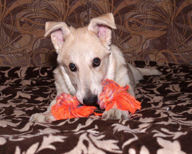 Het rode puppy knaagt aan oranje stuk speelgoed op laag royalty-vrije stock foto