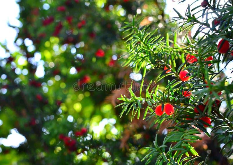 Het rode taxushoutfruit hangt op groene takken, de spinnewebfonkelingen in de zon royalty-vrije stock foto
