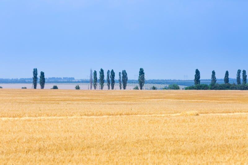 Het roggegebied bij zonnige de zomerdag De oogsttijd royalty-vrije stock fotografie