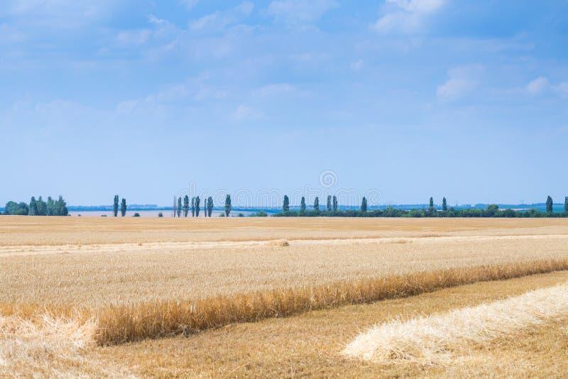 Het roggegebied bij zonnige de zomerdag De oogsttijd royalty-vrije stock foto