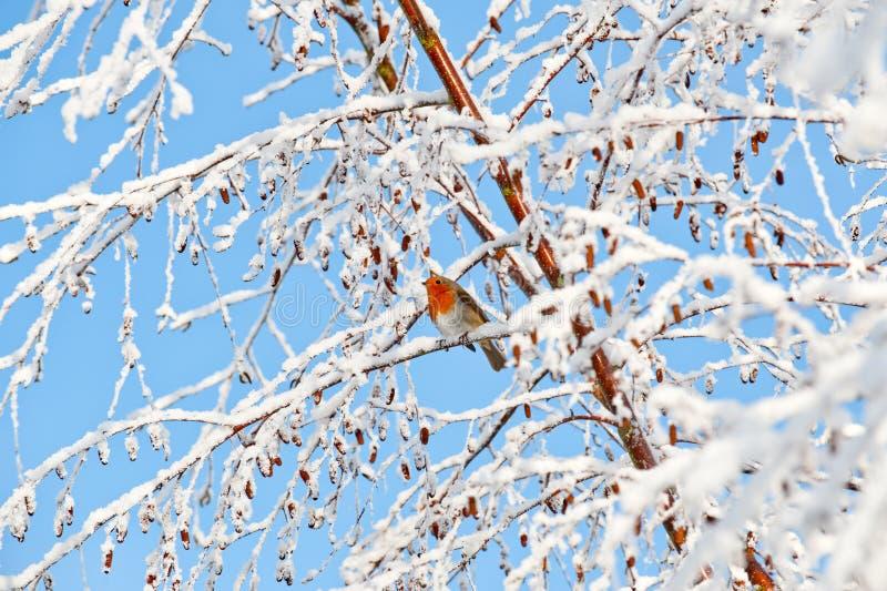 Het roodborstje van Robin op een sneeuw behandelde boomtak die wordt neergestreken stock afbeeldingen