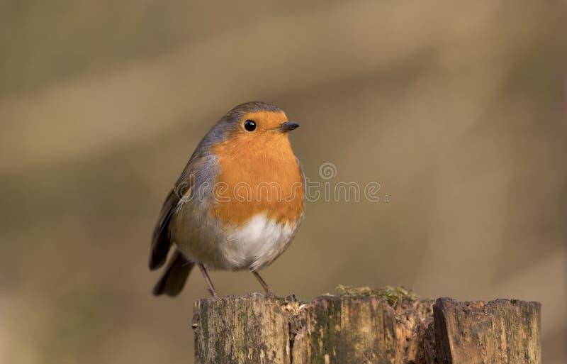 Het roodborstjevogel van Robin, erithacusrubecula op een tak wordt neergestreken die stock foto