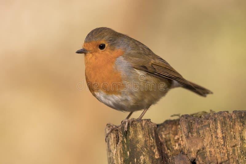 Het roodborstjevogel van Robin, erithacusrubecula op een tak wordt neergestreken die royalty-vrije stock foto's