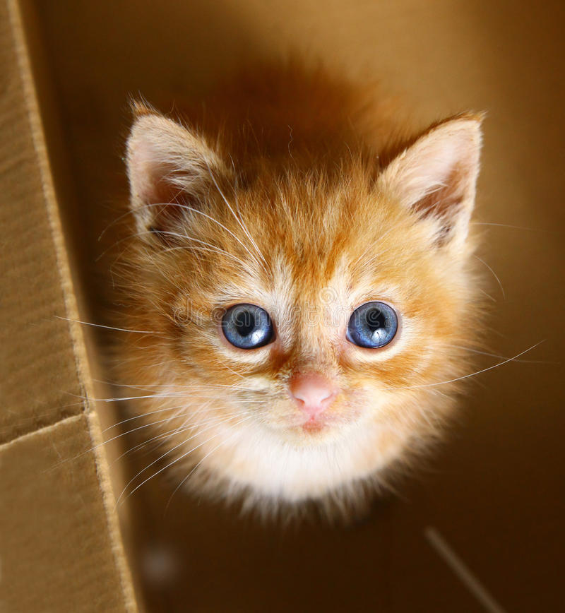 Het roodharige katje ziet omhoog zit in de kastdoos eruit stock afbeeldingen