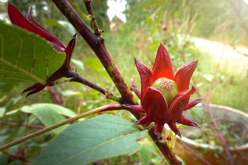 Het Rosellefruit/Roselle zijn species van Hibiscus waarschijnlijk inwoner aan West-Afrika stock afbeelding