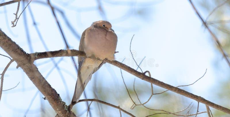 Het rouwen Duif, macroura van Zenaida van de Schildpadduif op een boomtak stock foto