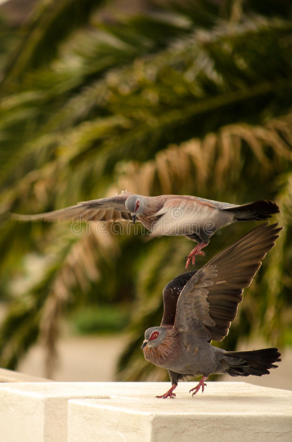 Het rouwen duiven het koppelen stock foto