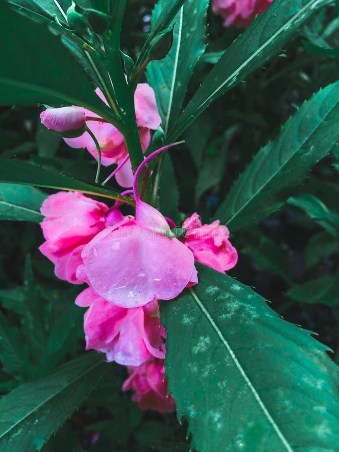 Het roze stock fotografie