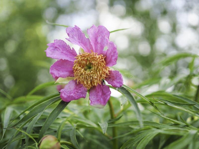 Het roze anomala van pioenpaeonia bloeien stock afbeelding