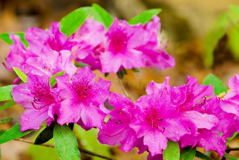 Het roze azalea's bloeien royalty-vrije stock foto's
