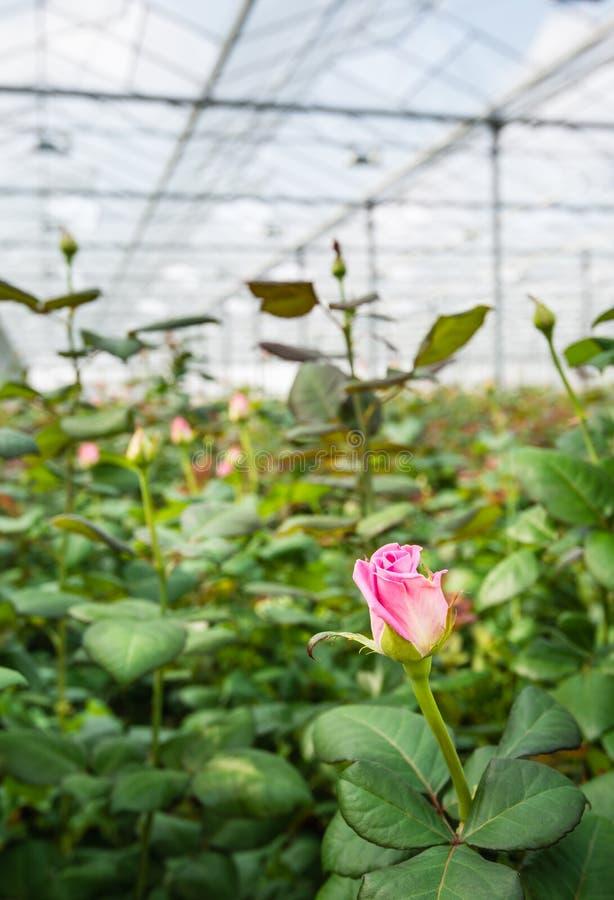 Het roze bloeien nam groeiend in een serre toe stock foto's
