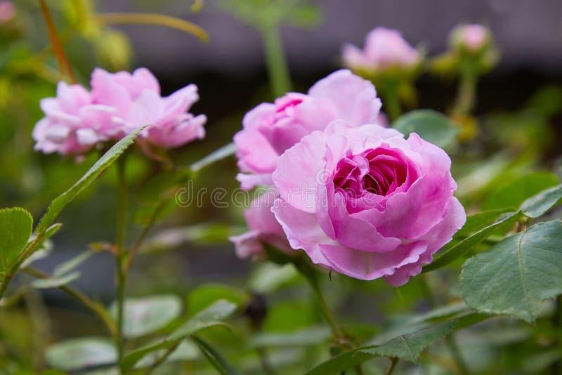 Het roze bloeien nam in openlucht toe struik stock foto's