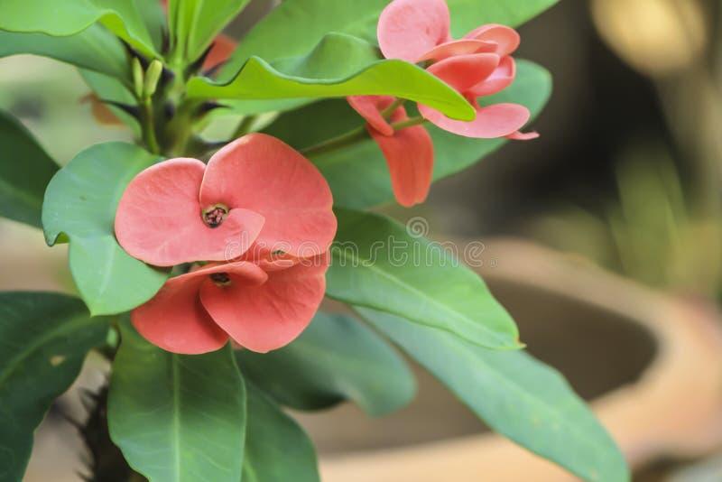 het roze bloeien van de bloemen van Wolfsmelkmilli in close-up royalty-vrije stock foto's