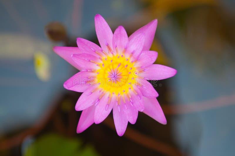 Het roze bloeit waterlily en bij stock foto