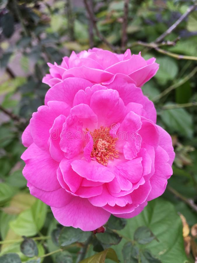 Het roze damast nam bloem toe stock foto's