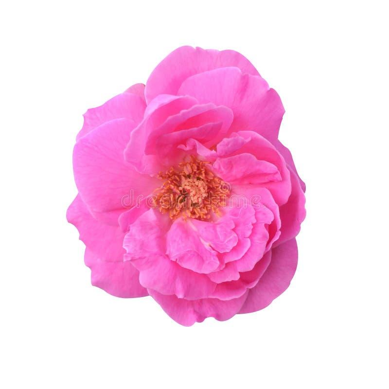 Het roze damast nam bloem toe royalty-vrije stock foto's