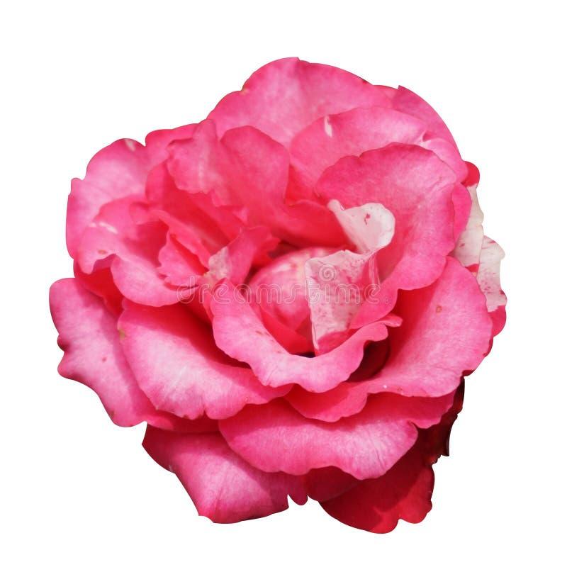 Het roze damast nam bloem toe stock foto