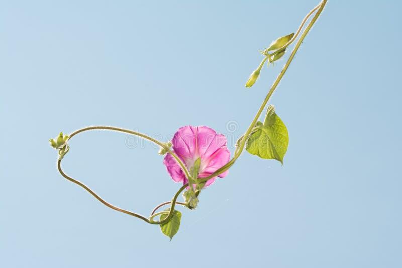 Het roze de bloem van de Ochtendglorie hangen tegen lichtblauwe hemel stock afbeelding