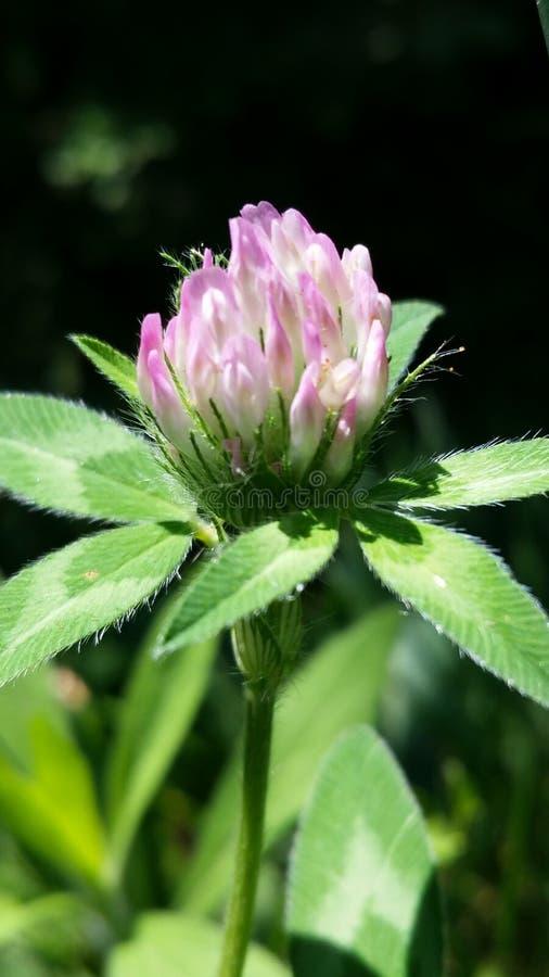 Het roze de zon van de knoop wilde bloem baden royalty-vrije stock afbeelding