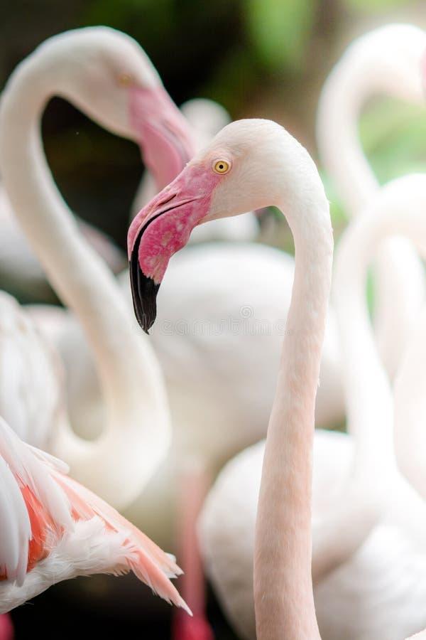 Het roze flamingo-Sluiten omhoog stock afbeeldingen