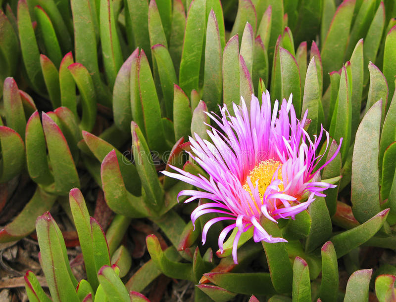 Het roze-geel kleurde bloem van het groene succulente installatie groeien op de kust van de Atlantische Oceaan van Namibië in Zui royalty-vrije stock foto