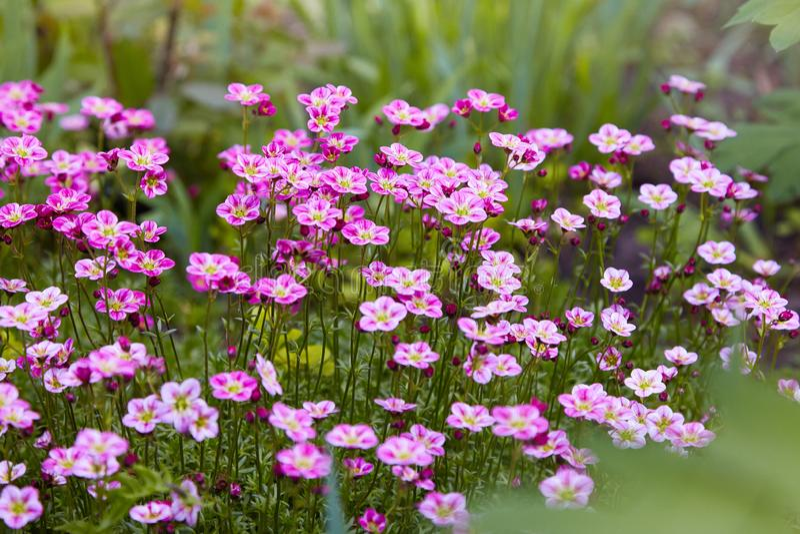 Het roze groeien van steenbreeksaksifraga Arendsii in een tuin royalty-vrije stock fotografie
