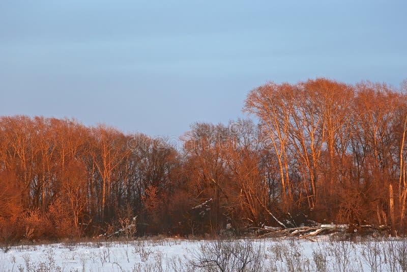 Het roze hout, het hout in de lente bij zonsondergang onder stralen van de zon stock foto's