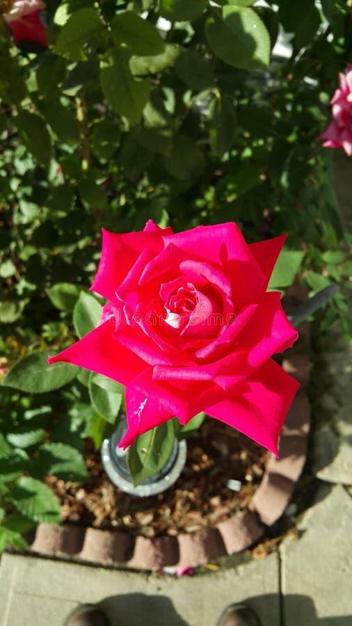 Het roze huis nam toe stock fotografie