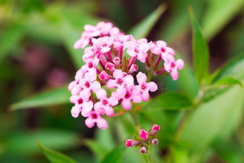 Het roze Ijzerkruid, het ondubbelzinnig makenbloem isoleert in de de lentezomer stock fotografie