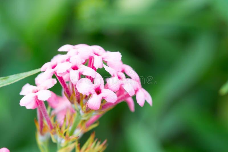 Het roze Ijzerkruid, het ondubbelzinnig makenbloem isoleert in de de lentezomer stock foto