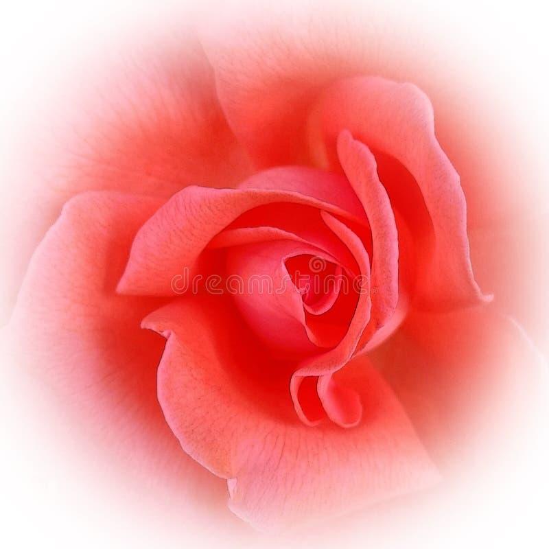 Het roze koraal nam toe stock afbeelding