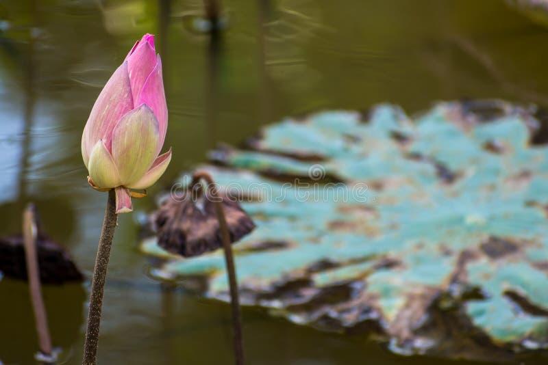 Het roze lotusbloembloem bloeien en groene bladeren bij vijver royalty-vrije stock fotografie