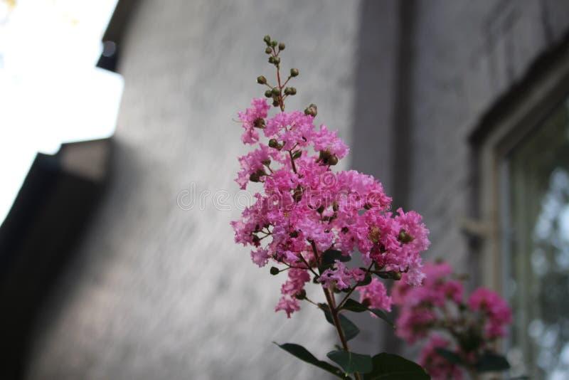 Het roze omfloerst Myrtle Flower & de Oude Baksteenbouw royalty-vrije stock foto