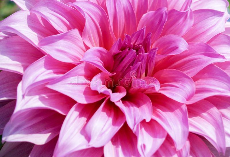 Het roze pedaal van de Dahliabloem royalty-vrije stock foto
