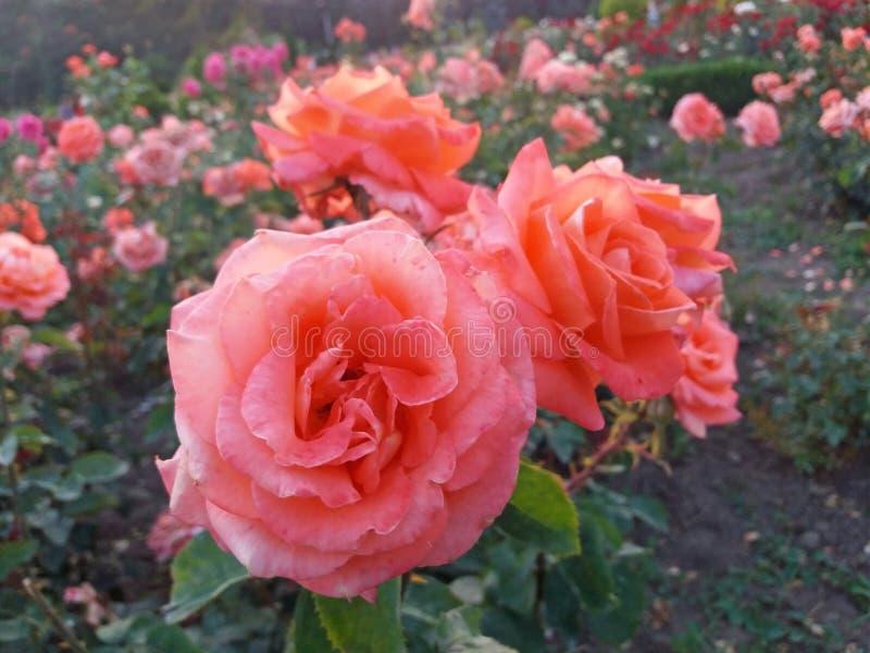 Het roze rozen zeer mooie bloeien in het park stock afbeelding