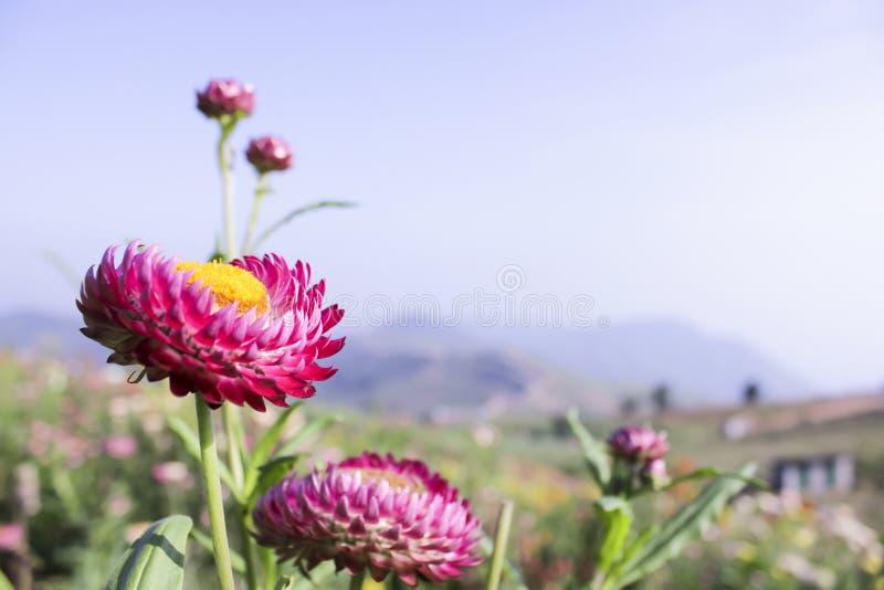 Het roze strawflowers of document van Helichrysum of van het madeliefje met blauwe hemel a royalty-vrije stock foto's