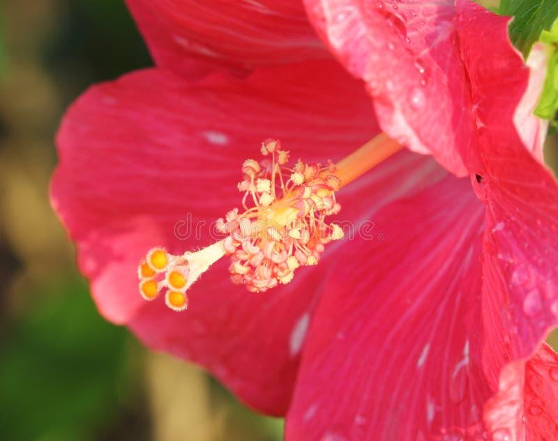 Het roze stuifmeel van de hibiscusbloem royalty-vrije stock fotografie