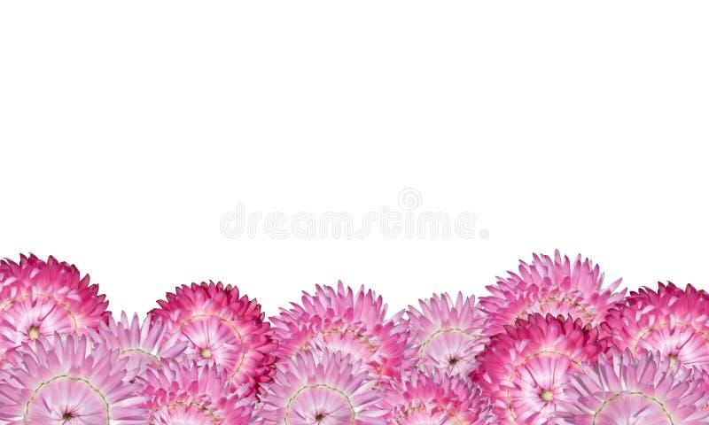 Het roze Thema van de Bloem Strawflowers dat op Wit wordt geïsoleerdi stock fotografie