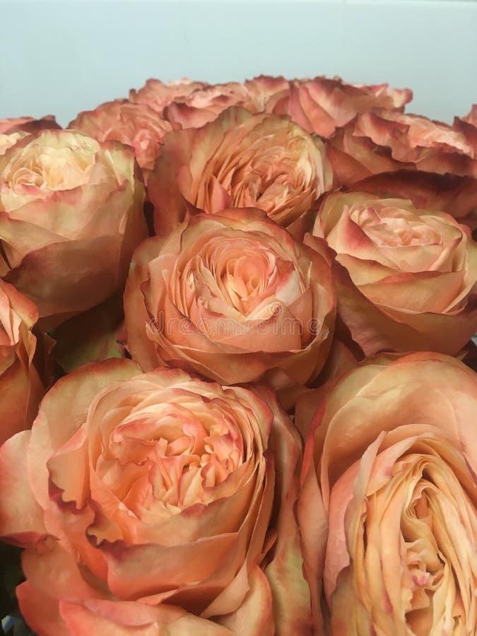 Het roze van bloemenrozen royalty-vrije stock afbeelding