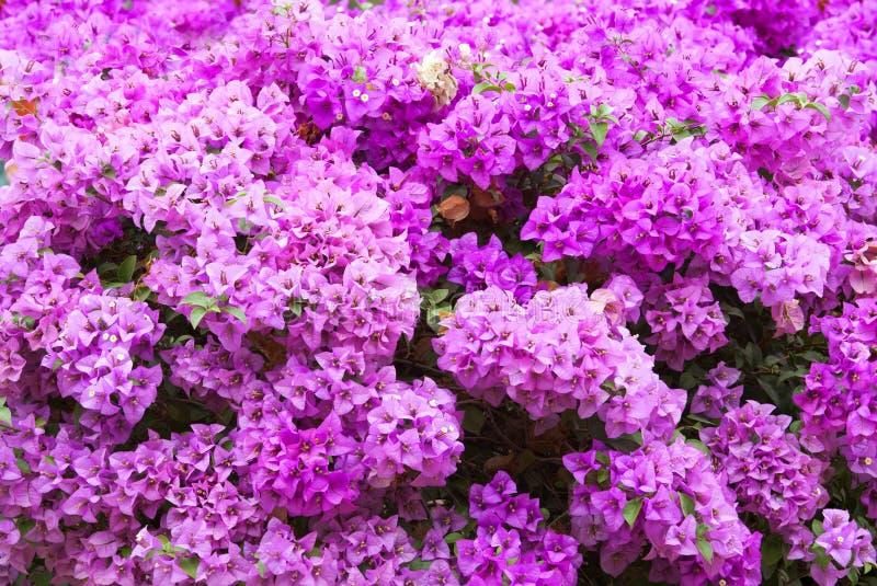 Het roze van bougainvilleabloemen op boom royalty-vrije stock afbeeldingen
